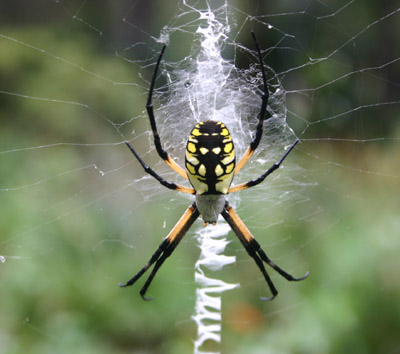 What is a Banana Spider?